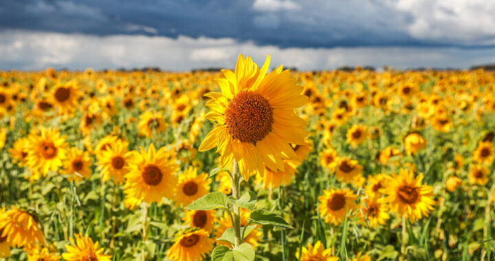 Picture this: Sunflower fields luring camera buffs
