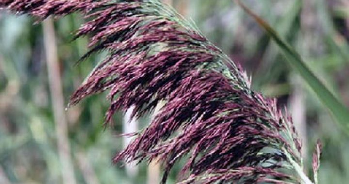 Troublesome invader: County joins effort to rid shoreline of phragmites